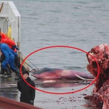 O feto de uma baleia caçada nas águas da Islândia foi jogado no lixo pelos caçadores, já que não tinha qualquer serventia comercial: país é um dos que desrespeitam moratória Foto: Sea Shepherd UK