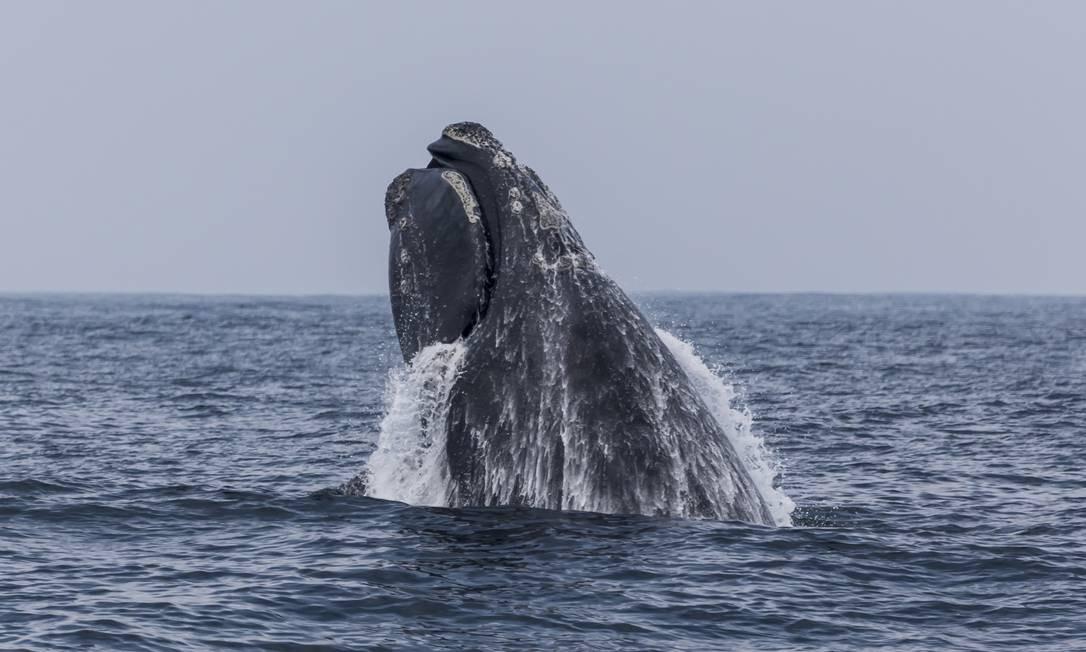 Baleia-franca flagrada na região das Ilhas Cagarras e Rasa, no Rio: espécie é uma das que seriam protegidas pelo santuário no Atlântico Sul Foto: Bia Hetzel / Projeto Ilhas do Rio