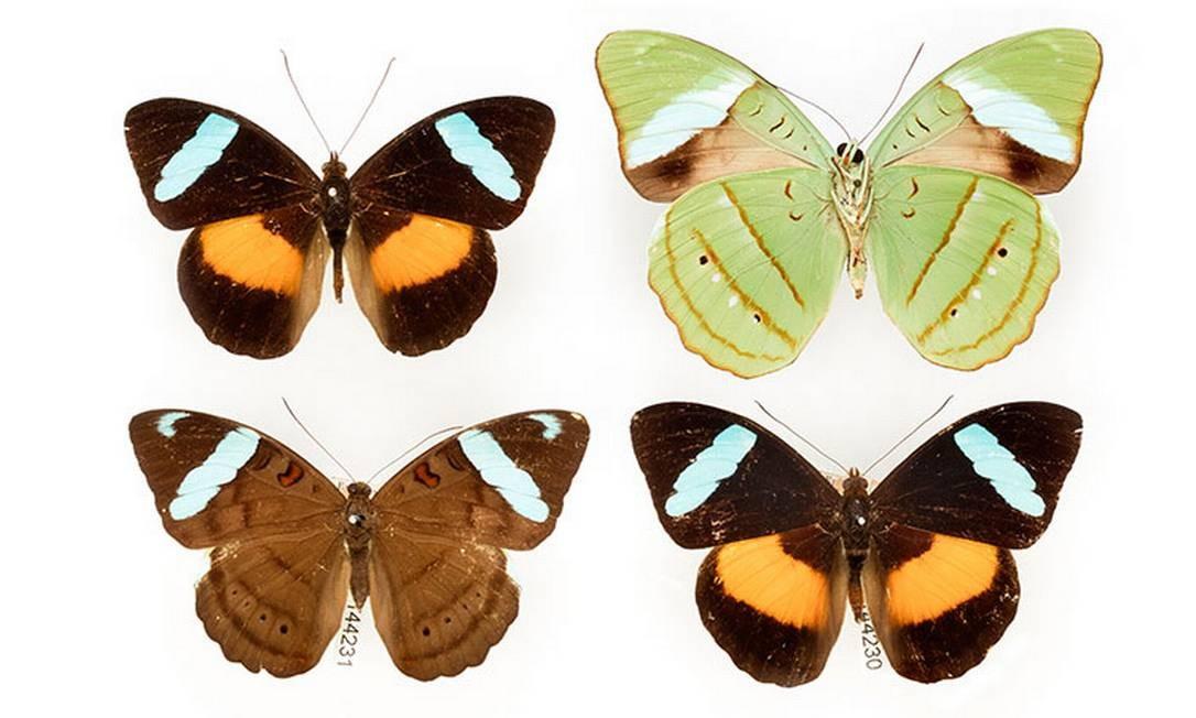 Borboletas coletadas pelo entomologista Henry Bates no Pará no século XIX compõem coleção do Museu de História Natural de Londres Natural History Museum / Reprodução