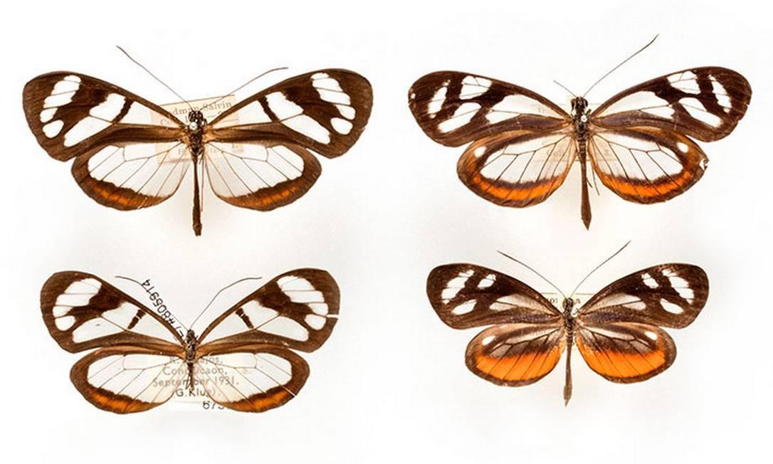Borboletas das espécies Ithomia flora e Dismorphia theucarilla, coletadas por Henry Bates e pertencentes ao acervo do Museu de História Natural de Londres Natural History Museum / Reprodução