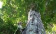 Pesquisador escala a árvore que liga os dois biomas Foto: Agência Vale / Vale:Vale S.A. / Agência Vale