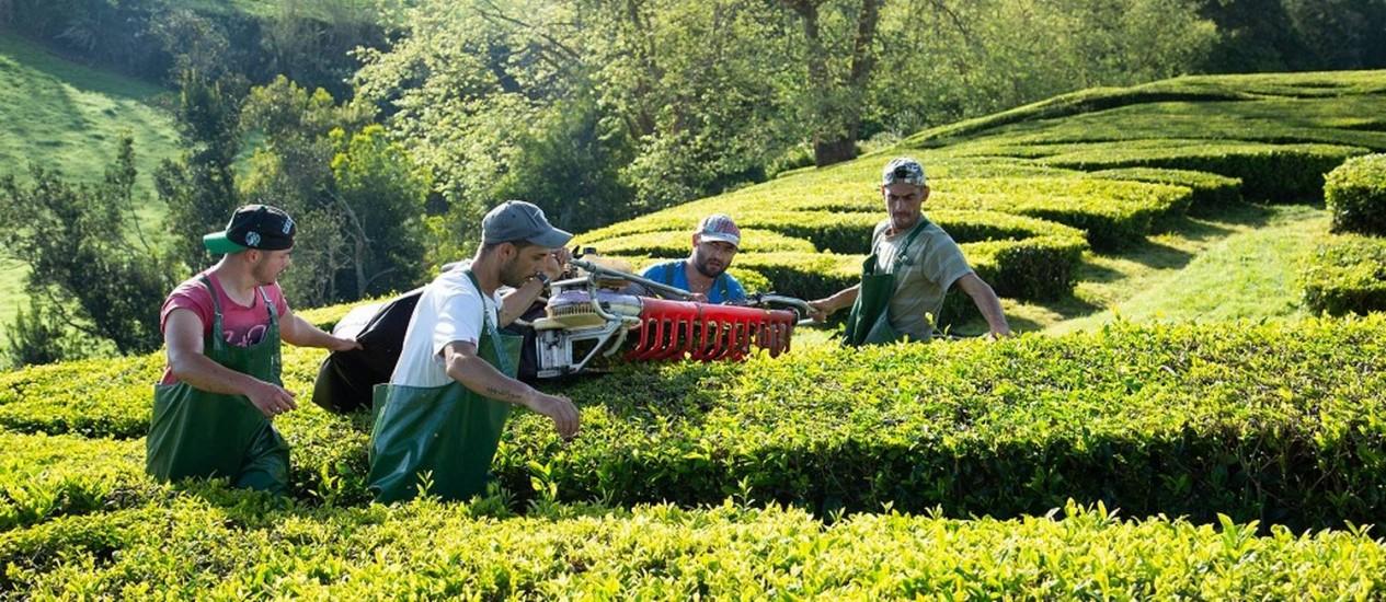 Plantação de chá, nos Açoures Foto: Caryn B. Davis / NYT