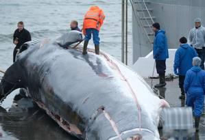 Baleia capturada em junho é processada por funcionários de empresa baleeira na Islândia Foto: Sea Shepherd