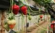 Morango foi retirado das prateleiras após casos de agulhas no interior da fruta Foto: DANIEL LEAL-OLIVAS / AFP
