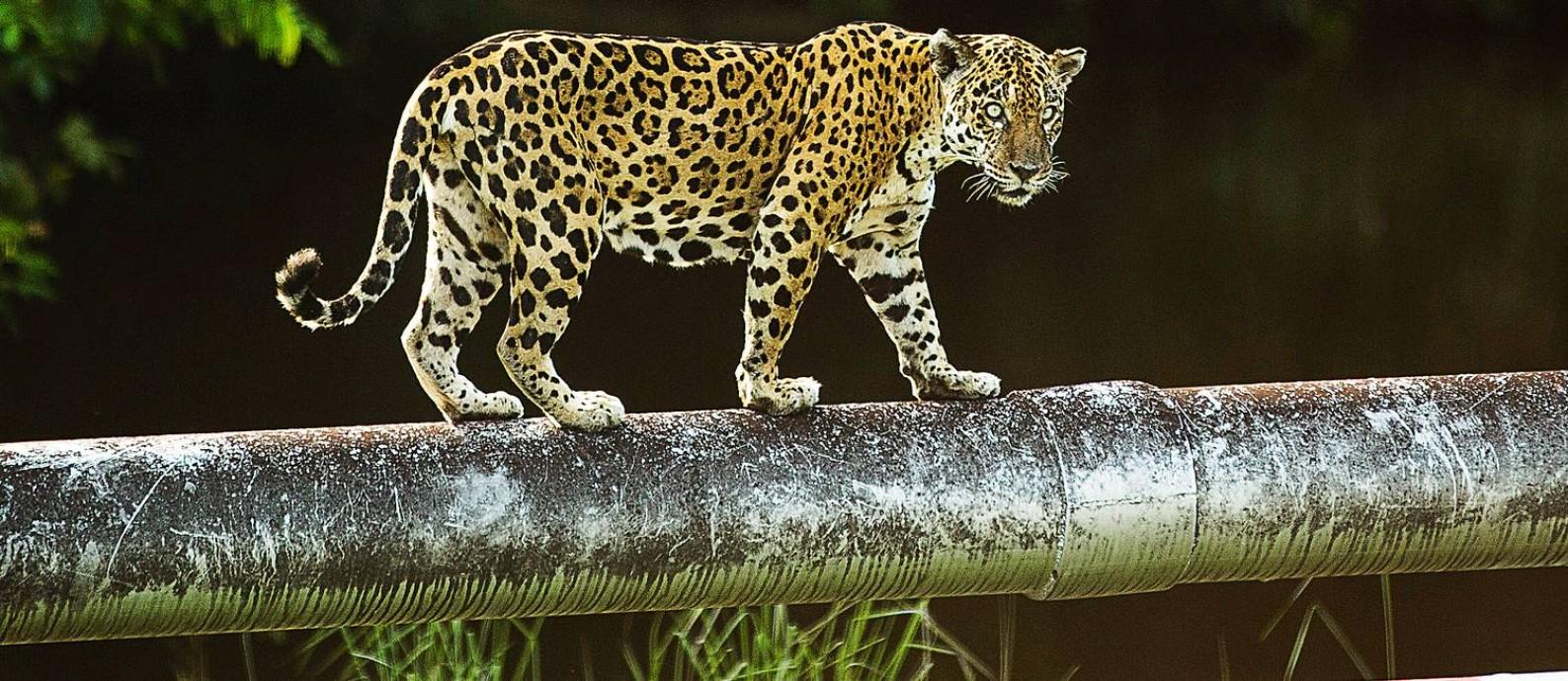 Tranquila, a onça-pintada usa o duto da plataforma de Urucu para cortar caminho no coração da Floresta Amazônica Foto: Guito Moreto / Agência O Globo