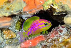 Afrodite, nova espécie de peixe descoberta em Morro de São Paulo Foto: Luiz Rocha / California Academy of Sciences