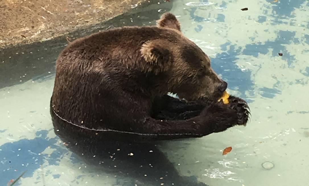 O urso-pardo, alojado próximo ao leão, estará à espera dos visitantes Foto: Divulgação/Anna Cecília Leite