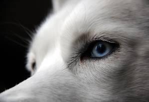 A cor dos olhos dos huskies siberianos é associada a uma duplicação no cromossomo 18 Foto: Jamie Leszczak