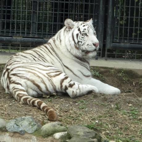 O tigre branco Riku, de 5 anos, não será sacrificado após matar cuidador Foto: Hirakawa Zoological Park