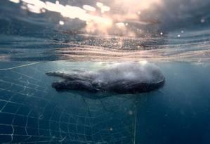 O filhote de baleia jubarte foi salvo graças ao monitoramento dos ativistas Foto: Nicole McLachlan/Humane Society International/Australian Marine Conservation Society
