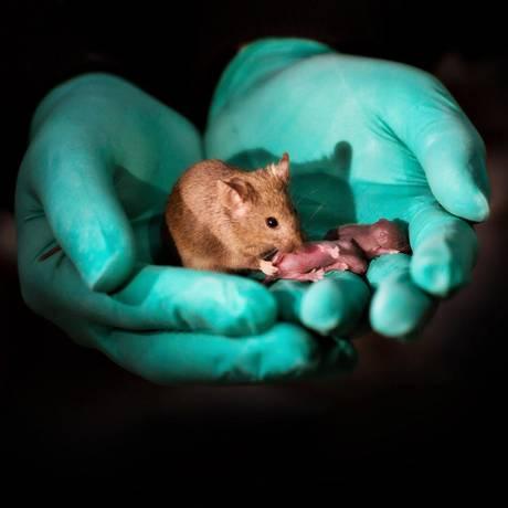Filhotes de camundongos nascidos a partir de material genético de duas fêmeas Foto: Leyun Wang