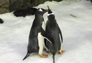 Os pinguins Sphen e Magic desenvolveram uma forte relação e são vistos sempre juntos Foto: Sydney Aquarium