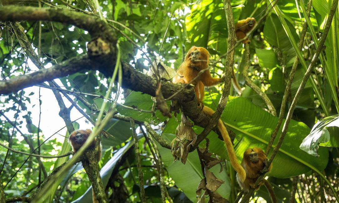 Mico-leão-dourado: espécie está na lista vermelha da União Internacional para a Conservação da Natureza Foto: Ana Branco / Agência O Globo/24-3-2017