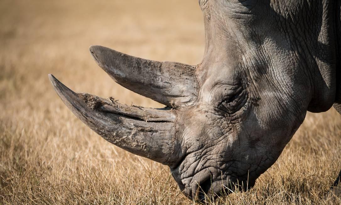 Osso de tigre e o chifre de rinoceronte moídos são cobiçados na medicina tradicional chinesa Foto: Pixabay