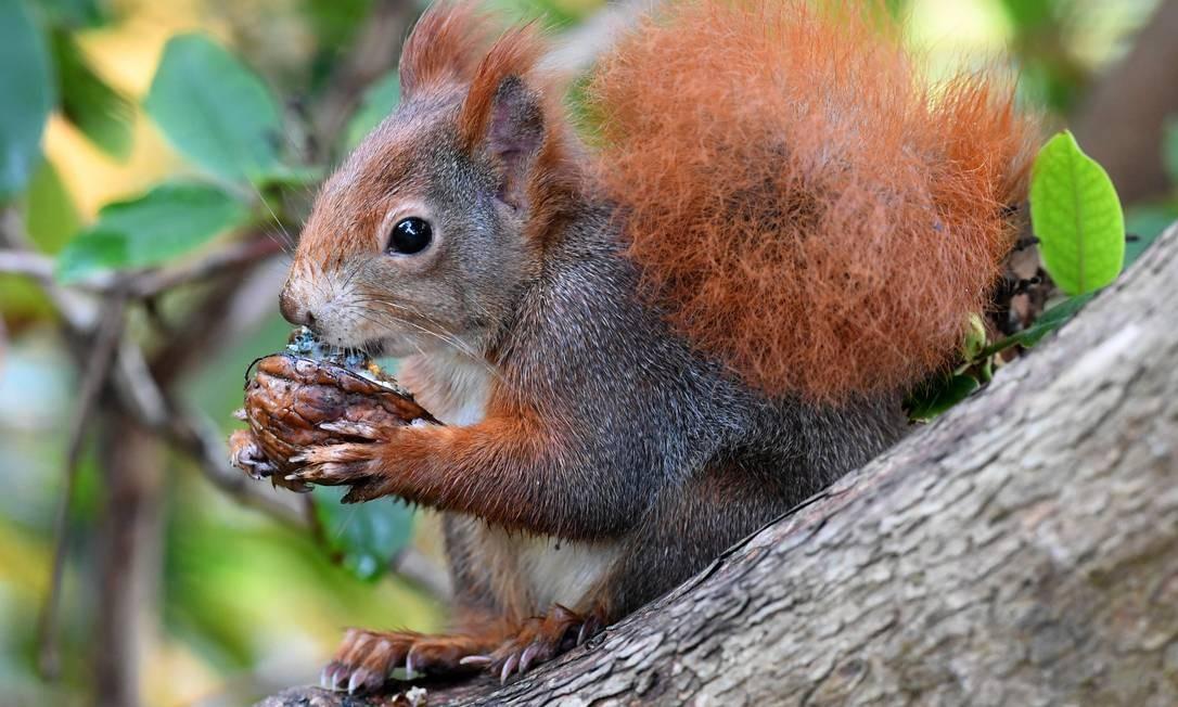 Esquilo se alimenta, em Hanover, na Alemanha central. HOLGER HOLLEMANN / AFP