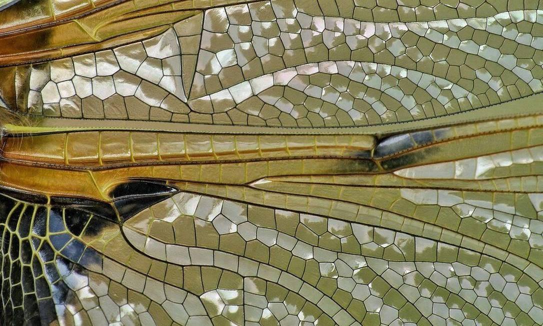 Estas asas de libélula foram fotografadas por Sean Clayton, em Gelston, na Escócia. Foto: .