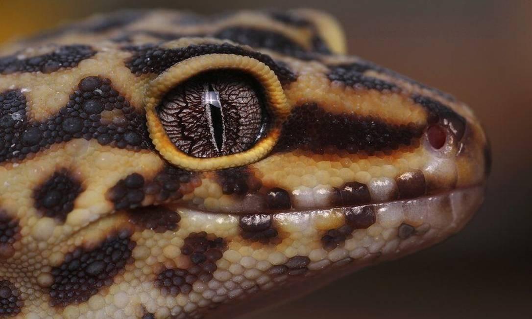 Jack Olive, 17 anos. Vencedor, Jovem Fotógrafo do Ano. Na foto, lagartixa leopardo Foto: .