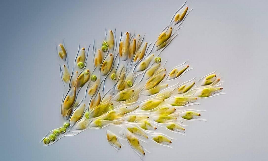 Esta micro shot de algas douradas foi tirada por Håkan Kvarnström em Estocolmo, na Suécia, e foi altamente elogiada na competição Foto: .