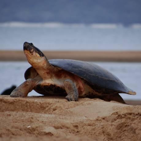 Fêmea adulta da tartaruga gigante da Amazônia em uma praia de rio da região: esforços de conservação estão rendendo frutos que vão muito além da espécie, beneficiando também aves, peixes, outros répteis e megafauna aquática Foto: Divulgação/Priscila Miorando