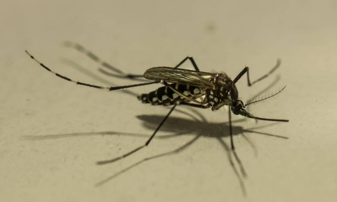 O mosquito 'Aedes aegypt' é vetor de doenças graves como dengue, febre amarela, zika e chicungunha Foto: Brenno Carvalho