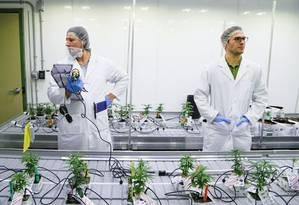 Comissão do Senado aprova proposta que pede à União para liberar a importação de plantas e sementes, o plantio, a cultura e a colheita da cannabis sativa exclusivamente para fins medicinais ou científicos, em local e prazo pré-determinados, mediante fiscalização. Foto: Reuters