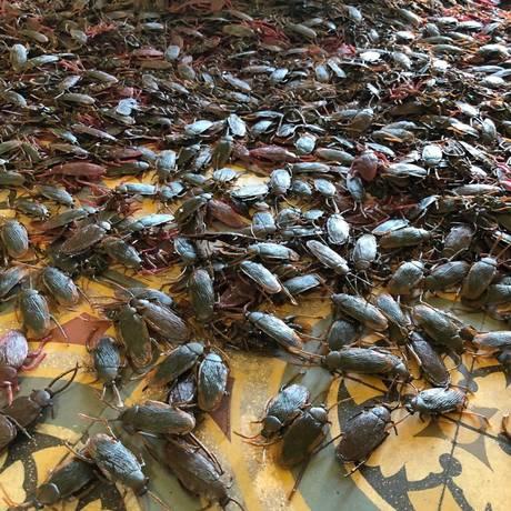 Detalhe da instalação: seis mil baratas de plástico Foto: Divulgação