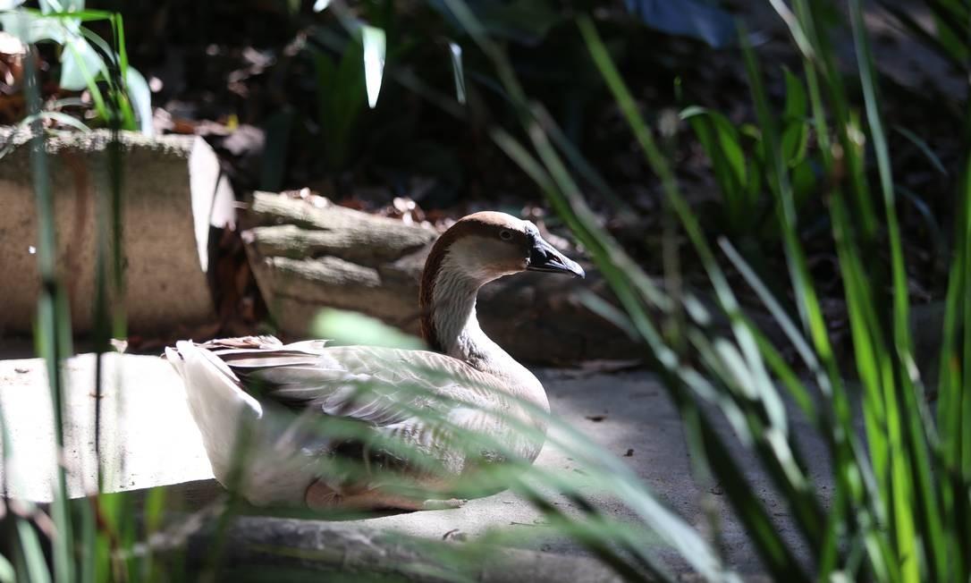 A ave de volta ao Parque Guinle, de onde fugiu para passear pelas ruas de Laranjeiras Fabiano Rocha / Agência O Globo