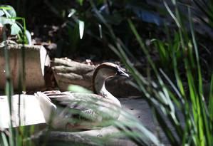 A ave de volta ao Parque Guinle, de onde fugiu para passear pelas ruas de Laranjeiras Foto: Fabiano Rocha / Agência O Globo