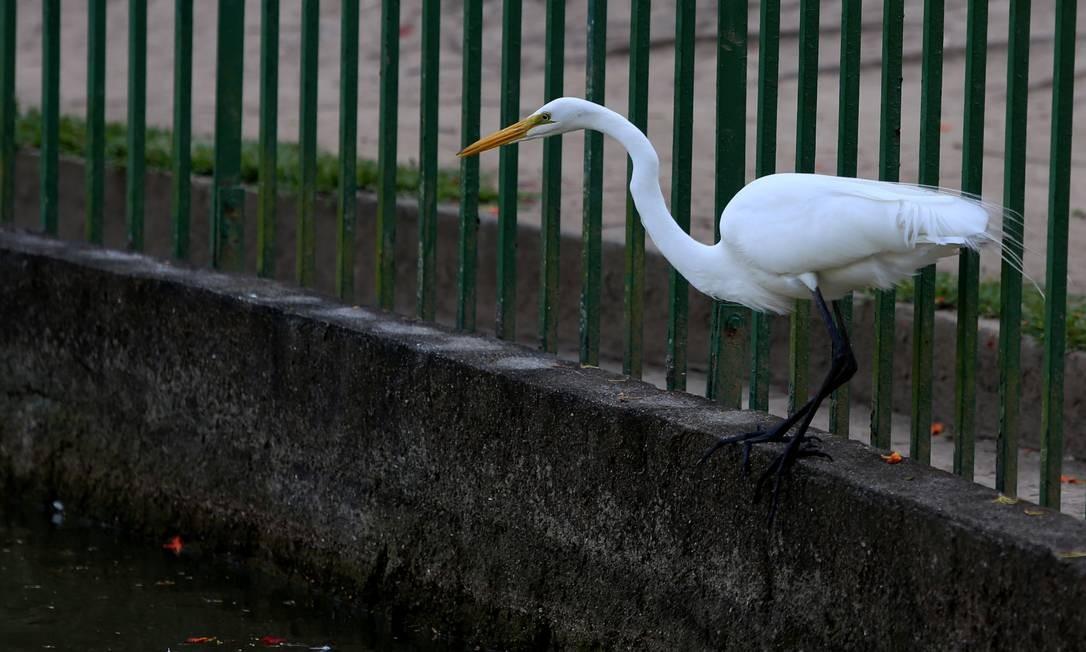 De acordo com associação que cuida do espaço, Parque Guinle tem cerca de 40 aves, como garças e cisnes Foto: Fabiano Rocha / Agência O Globo