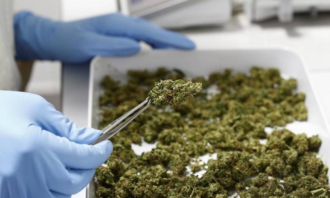 Funcionário de uma empresa alemã manipula a cannabis: comissão propõe prazo para Anvisa regulamentar cultivo para pesquisa e terapias Foto: MICHAELA REHLE/Reuters