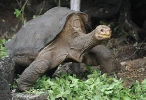 Conhecido como George Solitário, o último representante das tartarugas gigantes da Ilha Pinta, em Galápagos, 'ainda hoje nos ensina lições', diz especialista Foto: RODRIGO BUENDIA / AFP/19-04-2012