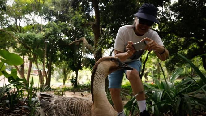 No dia seguinte da fuga, gansa recebe visitas no Parque Guinle e recebe os cliques da fotógrafa amadora Mônica Pinto Foto: Pablo Jacob / Agência O Globo