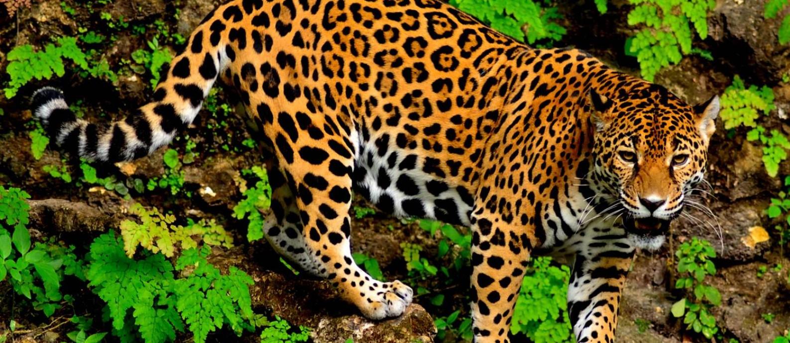 Em detalhe, onça-pintada da Amazônia: pacotes de turismo para observação do animal renderam 2,2 milhões em 2017 Foto: Divulgação/Roberto Lorenzo / Divulgação/Roberto Lorenzo