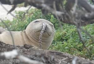 Enguias presas no nariz ameaçam a sobrevivência da foca-monge-do-mediterrâneo Foto: NOAA Fisheries/Divulgação