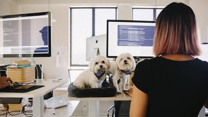 A engenheira de software Sarah Lee trabalha em pé ao lado de seus dosis cachorros. Estudos indicam que os benefícios de trabalhar em pé são superestimados Foto: KENDRICK BRINSON / NYT