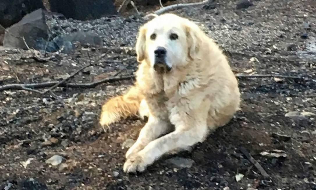 Cão Madison espera donos em destroços de incêndio Foto: Reprodução Twitter