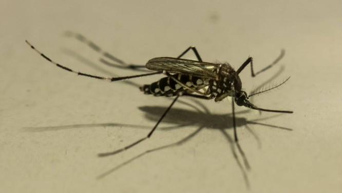 Exemplar do mosquito Aedes aegypti: transmissor da dengue, zika e chicungunha, e da febre amarela em ambientes urbanos, inseto tem a proliferação aumentada no verão Foto: Brenno Carvalho/23-11-2018