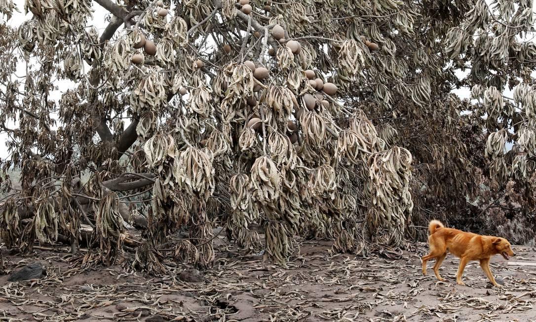 Cachorro caminha por árvores cobertas por cinzas após a erupção do vulcão Fuego, em San Miguel Los Lotes, em Escuintla, na Guatemala (8/6/2018) CARLOS JASSO / REUTERS