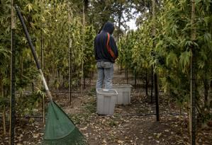 Plantas de maconha nos arredores de Covelo, na Califórnia: a cada outono, caravanas de jovens vão à região para trabalhar na colheita Foto: HILARY SWIFT / NYT