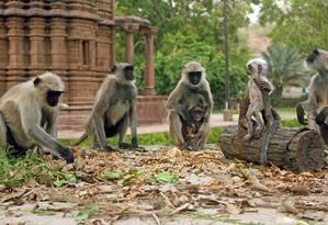 Ameaçados de extinção, macacos langur são nativos do Sudeste Asiático Foto: Mathew Gordon/Discovery Channel