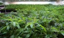 Na Califórnia, cerca de US$ 2,5 bilhões de cannabis foram vendidos em 2018, meio bilhão de dólares a menos do que em 2017, quando a maconha medicinal foi legalizada Foto: New York Times