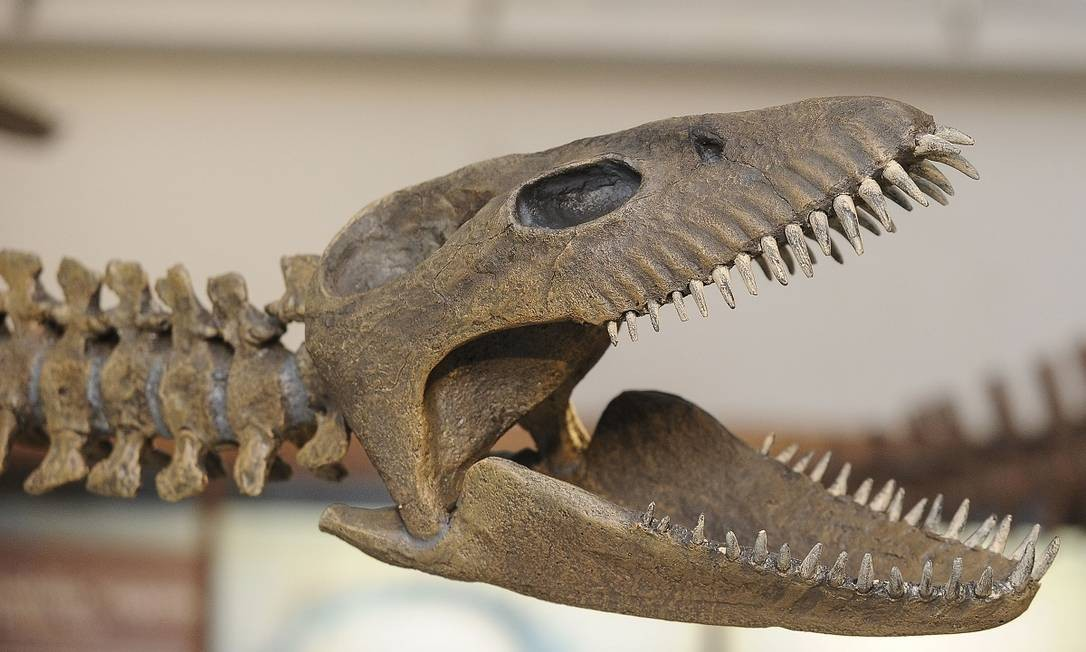 Mais um detalhe do crânio do réptil gigante, o maior de sua espécie encontrado no país Foto: JAVIER GONZALEZ TOLEDO / AFP