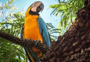 Um exemplar de arara-canindé Foto: Divulgação/PNT