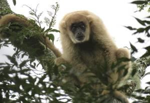 Maior macaco das Américas, o muriqui-do-sul encontrou refúgio Foto: Divlgação/André Lanna