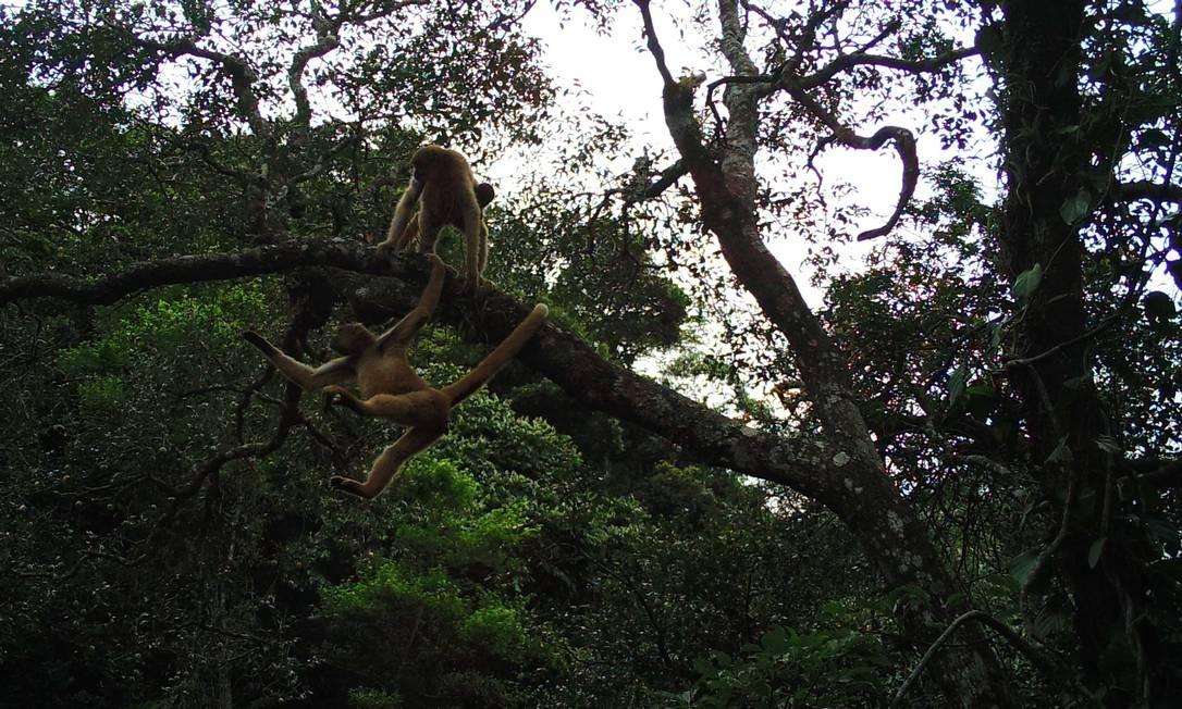 Raríssimo muriqui-do-sul, um dos primatas mais ameaçados do planeta, flagrado pela primeira vez com câmeras no alto das árvores no estado do Rio Foto: Andre Lanna