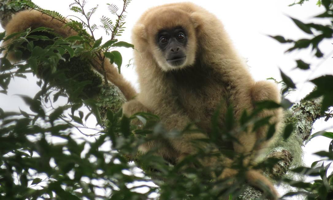 Macacos Muriquis são dóceis, sociáveis e magníficos, símbolos da floresta luxuriante Foto: Lucas Moraes