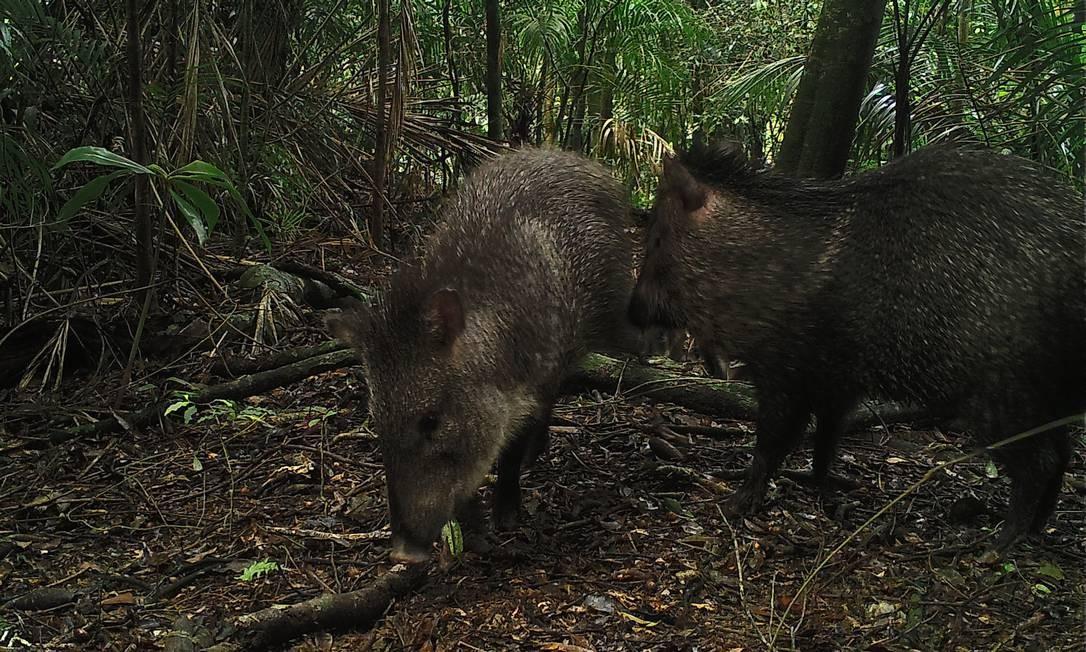 Os catetos, espécie de porco do mato, também quase foram extintos pelo homem Foto: Andre Lanna