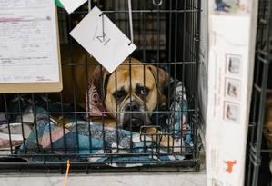 Cão resgatado da área de incêndio da Califórnia é exibido no aeroporto municipal de Chico, para onde ONGs levaram animais para tentar reuni-los a seus donos; o estado americano instituiu uma lei que obriga as lojas de animais a venderem apenas bichos que foram resgatados Foto: Jason Henry / The New York Times