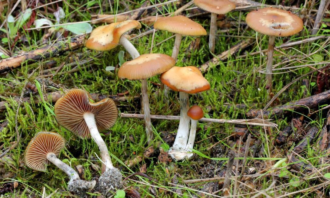 Cogumelos psicodélicos da espécie 'Psilocybe cyanescens', uma das muitas a conter o composto alucinógeno psilocibina Foto: / Alan Rockefeller/Mushroom Observer/Wikimedia Commons
