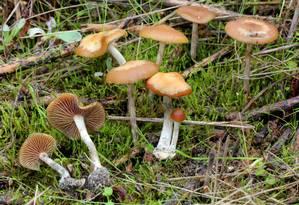 Cogumelos psicodélicos da espécie 'Psilocybe cyanescens', uma das muitas a conter o composto alucinógeno psilocibina Foto: Alan Rockefeller/Mushroom Observer/Wikimedia Commons